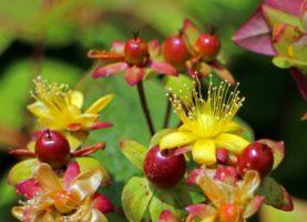 Johanniskraut – ein Kraut mit vielen Namen und noch mehr